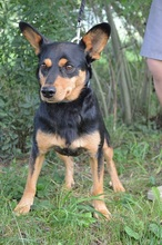 SCOBY, Hund, Pinscher-Mix in Chemnitz - Bild 3