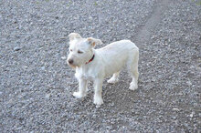 GABINO, Hund, West Highland White Terrier-Mix in Spanien - Bild 1