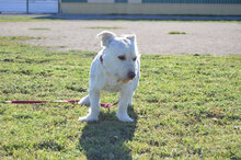 GABINO, Hund, West Highland White Terrier-Mix in Spanien - Bild 2