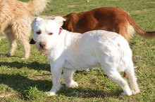 GABINO, Hund, West Highland White Terrier-Mix in Spanien - Bild 4