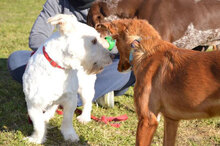 GABINO, Hund, West Highland White Terrier-Mix in Spanien - Bild 5
