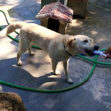 FAISCA, Hund, Labrador-Mix in Portugal - Bild 12