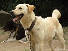 FAISCA, Hund, Labrador-Mix in Portugal - Bild 8