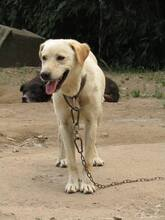 FAISCA, Hund, Labrador-Mix in Portugal - Bild 9