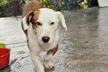 PONGO, Hund, Basset-Mix in Portugal - Bild 5