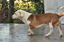 PONGO, Hund, Basset-Mix in Portugal - Bild 7