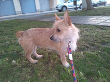 CHOLO, Hund, Terrier in Spanien - Bild 2