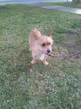 CHOLO, Hund, Terrier in Spanien - Bild 4