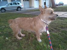 CHOLO, Hund, Terrier in Spanien - Bild 5