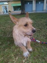 CHOLO, Hund, Terrier in Spanien - Bild 6