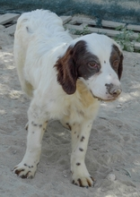 MIGUEL, Hund, Cocker Spaniel-Mix in Spanien - Bild 1