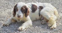 MIGUEL, Hund, Cocker Spaniel-Mix in Spanien - Bild 10