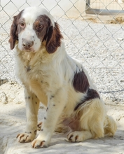 MIGUEL, Hund, Cocker Spaniel-Mix in Spanien - Bild 11