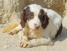 MIGUEL, Hund, Cocker Spaniel-Mix in Spanien - Bild 2