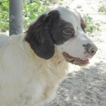 MIGUEL, Hund, Cocker Spaniel-Mix in Spanien - Bild 4