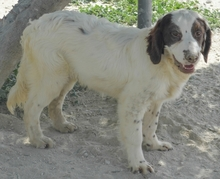 MIGUEL, Hund, Cocker Spaniel-Mix in Spanien - Bild 5