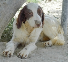 MIGUEL, Hund, Cocker Spaniel-Mix in Spanien - Bild 6