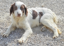 MIGUEL, Hund, Cocker Spaniel-Mix in Spanien - Bild 9