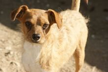 TIPONI, Hund, Terrier-Mix in Spanien - Bild 1