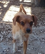 TIPONI, Hund, Terrier-Mix in Spanien - Bild 2