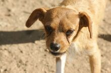 TIPONI, Hund, Terrier-Mix in Spanien - Bild 6