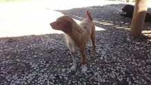 TIPONI, Hund, Terrier-Mix in Spanien - Bild 9
