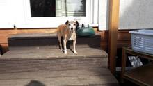 MAKLI, Hund, Pinscher-Mix in Ungarn - Bild 2
