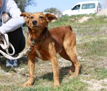 DOLAR, Hund, Golden Retriever-Mix in Spanien - Bild 1