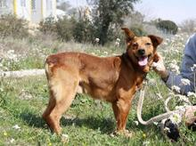 DOLAR, Hund, Golden Retriever-Mix in Spanien - Bild 10