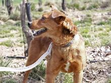 DOLAR, Hund, Golden Retriever-Mix in Spanien - Bild 4