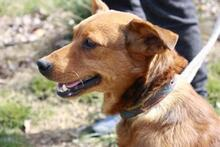 DOLAR, Hund, Golden Retriever-Mix in Spanien - Bild 6