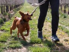 DOLAR, Hund, Golden Retriever-Mix in Spanien - Bild 8