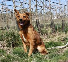 DOLAR, Hund, Golden Retriever-Mix in Spanien - Bild 9