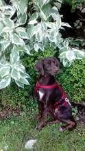 BUTTONS, Hund, Labrador-Mix in Ihlow - Bild 12