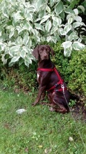 BUTTONS, Hund, Labrador-Mix in Ihlow - Bild 14