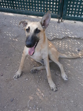 PEACHES, Hund, Galgo Español-Mix in Spanien - Bild 1