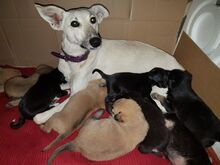 PEACHES, Hund, Galgo Español-Mix in Spanien - Bild 7