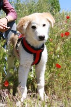 MARCIA, Hund, Labrador-Golden Retriever-Mix in Spanien - Bild 1