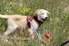 MARCIA, Hund, Labrador-Golden Retriever-Mix in Spanien - Bild 11