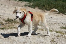 MARCIA, Hund, Labrador-Golden Retriever-Mix in Spanien - Bild 14
