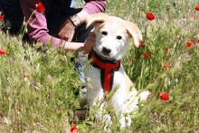 MARCIA, Hund, Labrador-Golden Retriever-Mix in Spanien - Bild 2