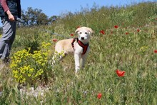 MARCIA, Hund, Labrador-Golden Retriever-Mix in Spanien - Bild 3