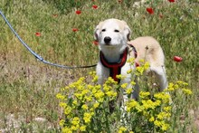 MARCIA, Hund, Labrador-Golden Retriever-Mix in Spanien - Bild 4