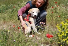 MARCIA, Hund, Labrador-Golden Retriever-Mix in Spanien - Bild 5