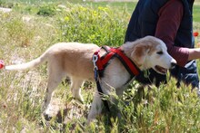 MARCIA, Hund, Labrador-Golden Retriever-Mix in Spanien - Bild 6