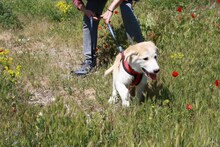 MARCIA, Hund, Labrador-Golden Retriever-Mix in Spanien - Bild 7