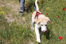 MARCIA, Hund, Labrador-Golden Retriever-Mix in Spanien - Bild 8