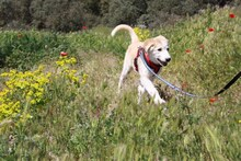 MARCIA, Hund, Labrador-Golden Retriever-Mix in Spanien - Bild 9