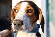 NEOX, Hund, Beagle-Mix in Spanien - Bild 1