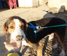 NEOX, Hund, Beagle-Mix in Spanien - Bild 2